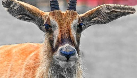 roan-antelope