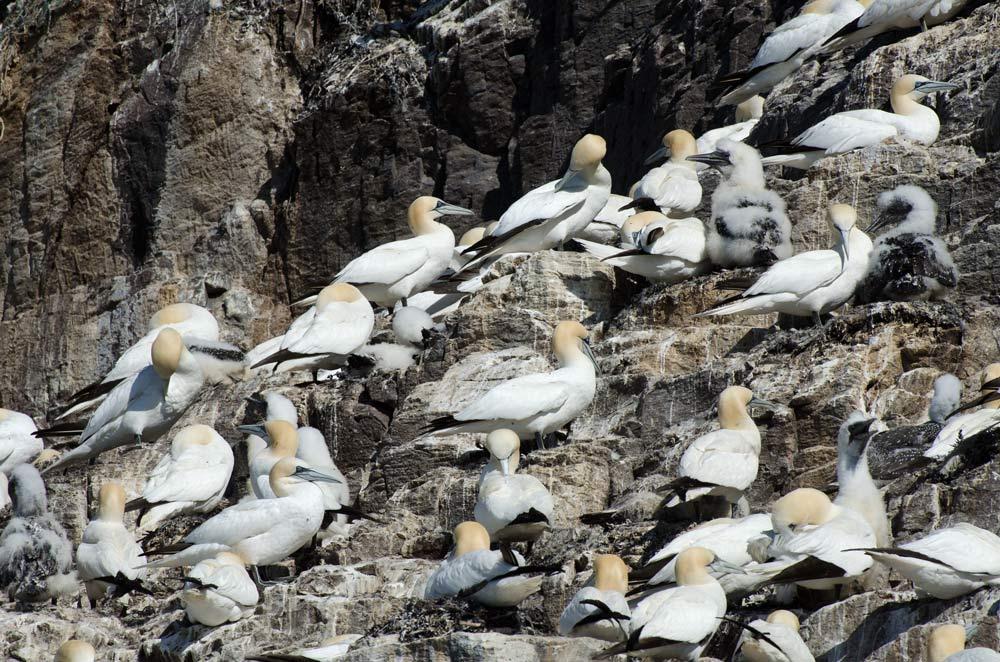 gannets-bass-rock-01