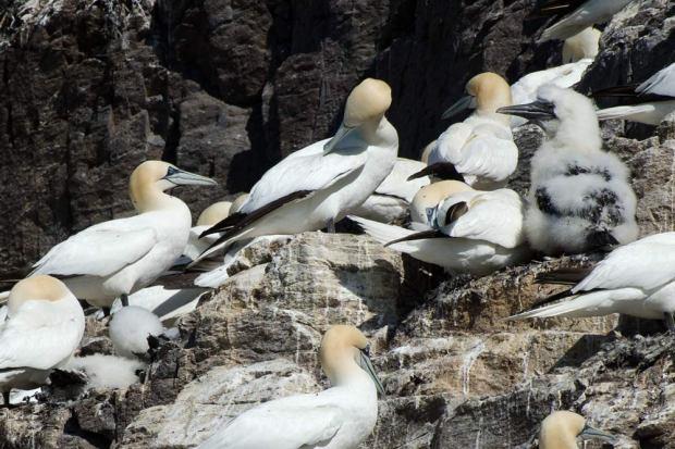 gannets-bass-rock-02