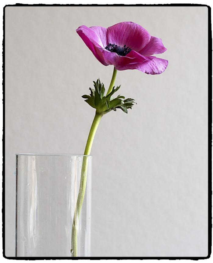 anemone-fotor