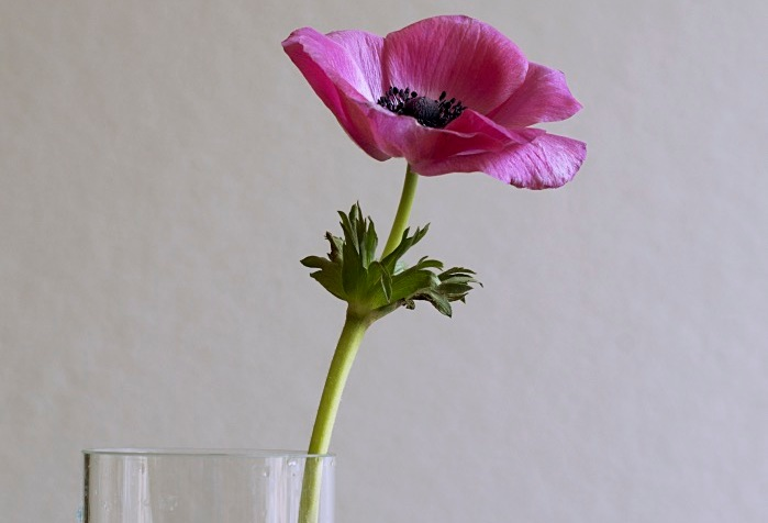 anemone in a glass vase