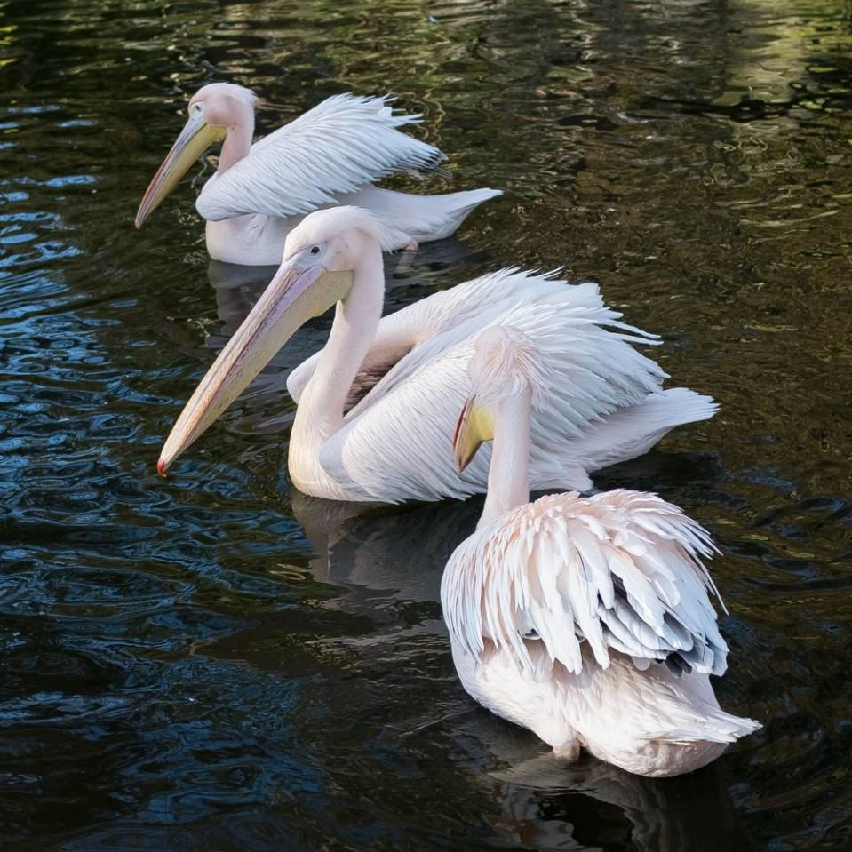 three pelicans