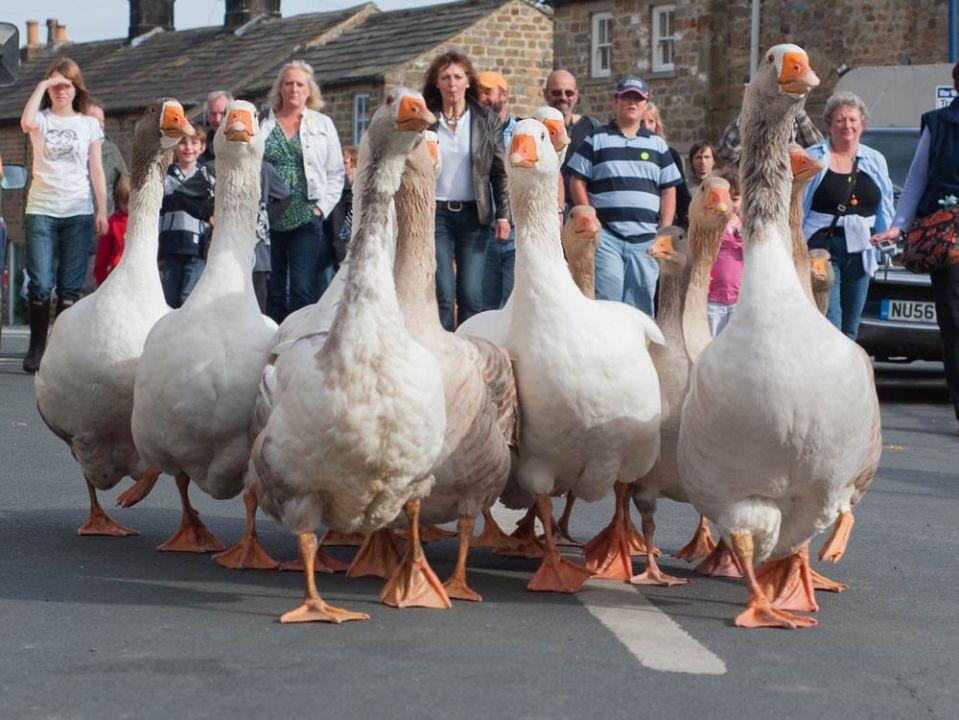 geese being herded in Masham