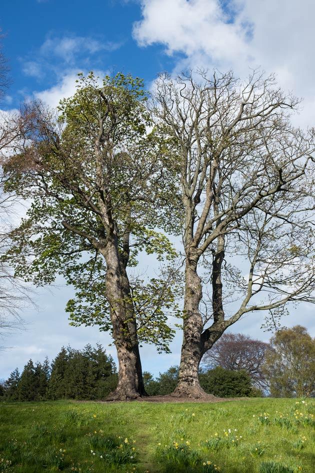 two trees in Edinburgh Botanic Gardens