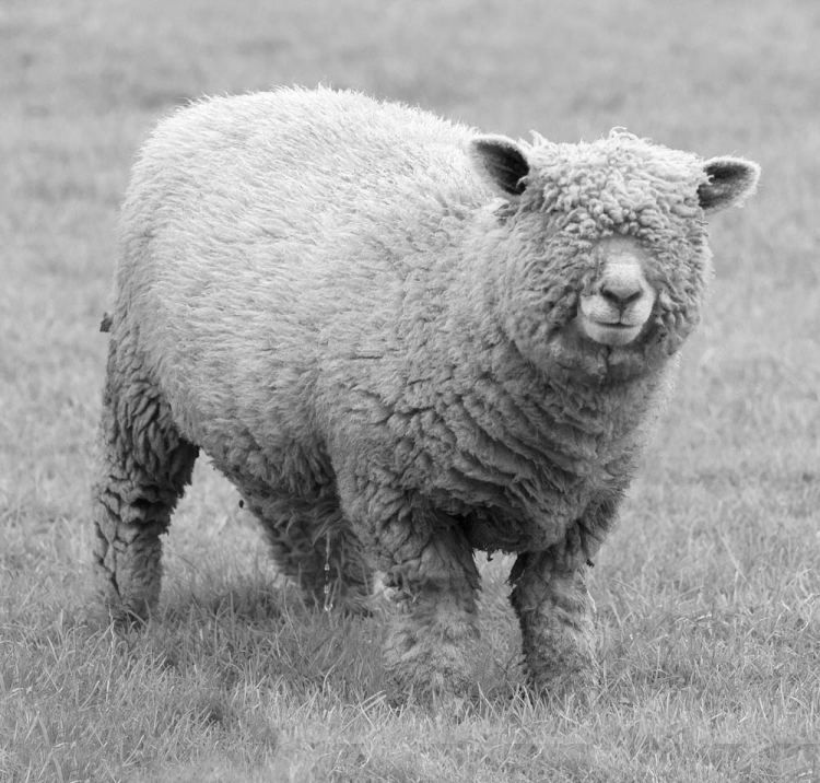 what-breed-of-sheep-is-this-black-and-white-version