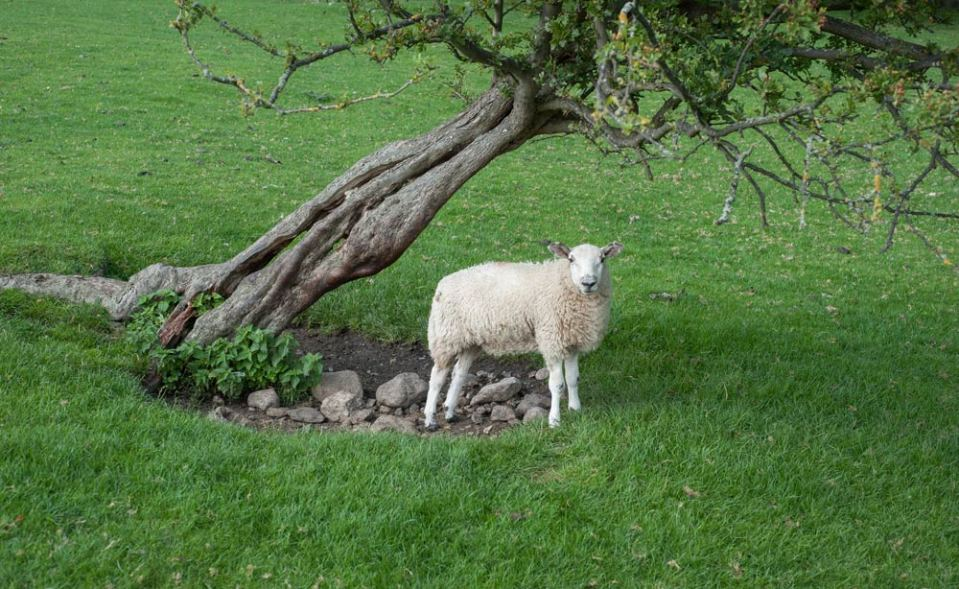 while-i-am-on-the-subject-of-sheep