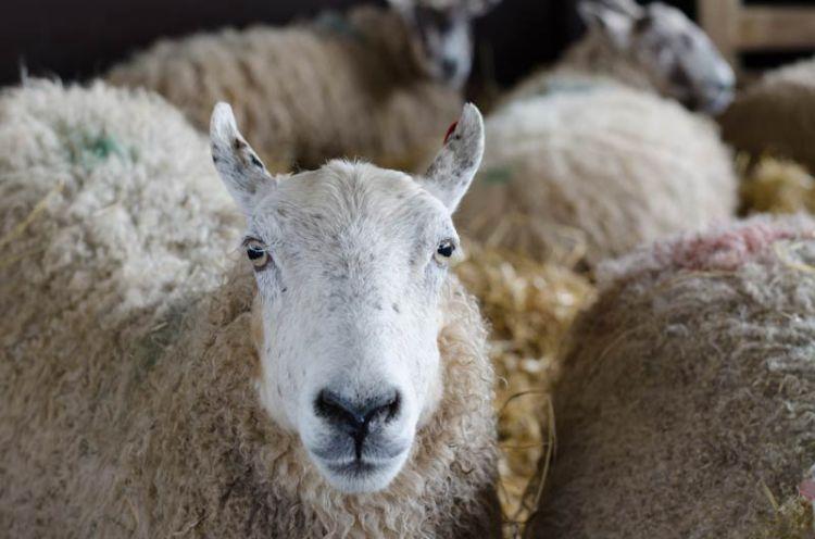 sheep photographed close up
