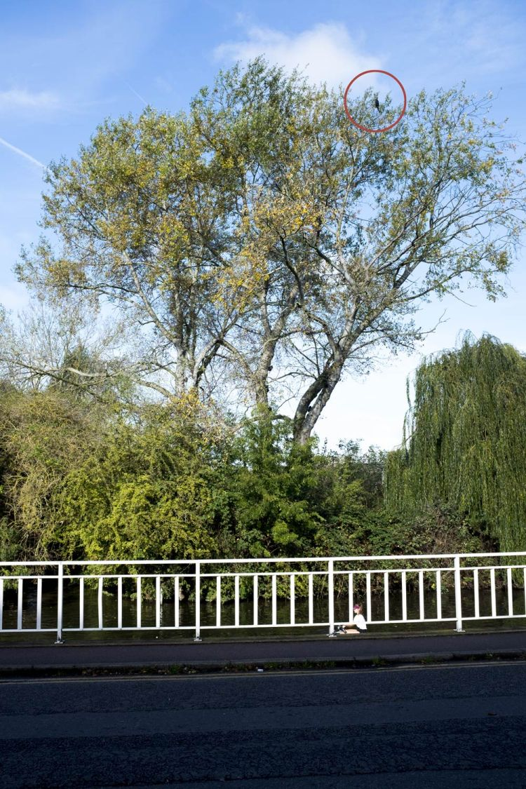 cormorant-in-a-tree-by-the-river-Cam-in-Cambridge