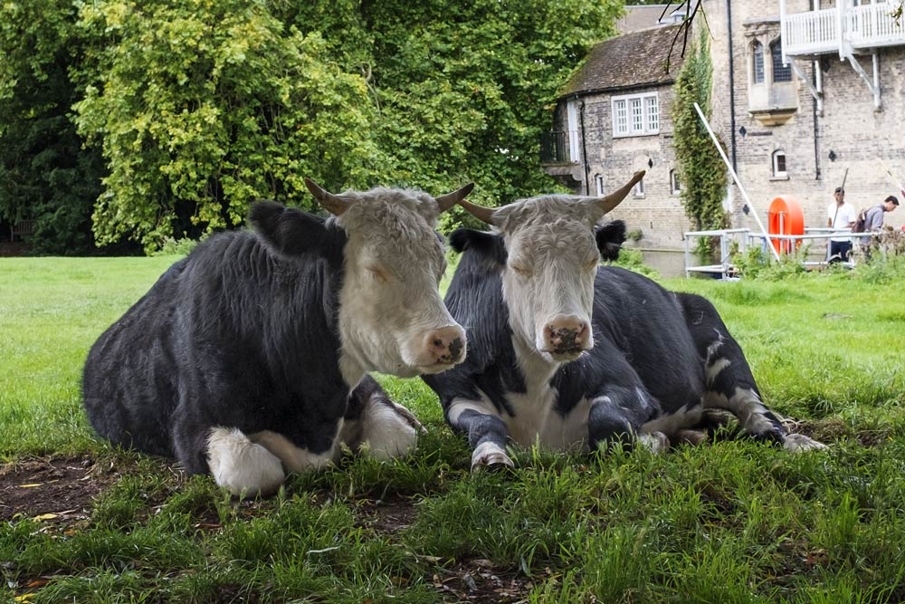 two black and white cows sitting in a field, heads close together