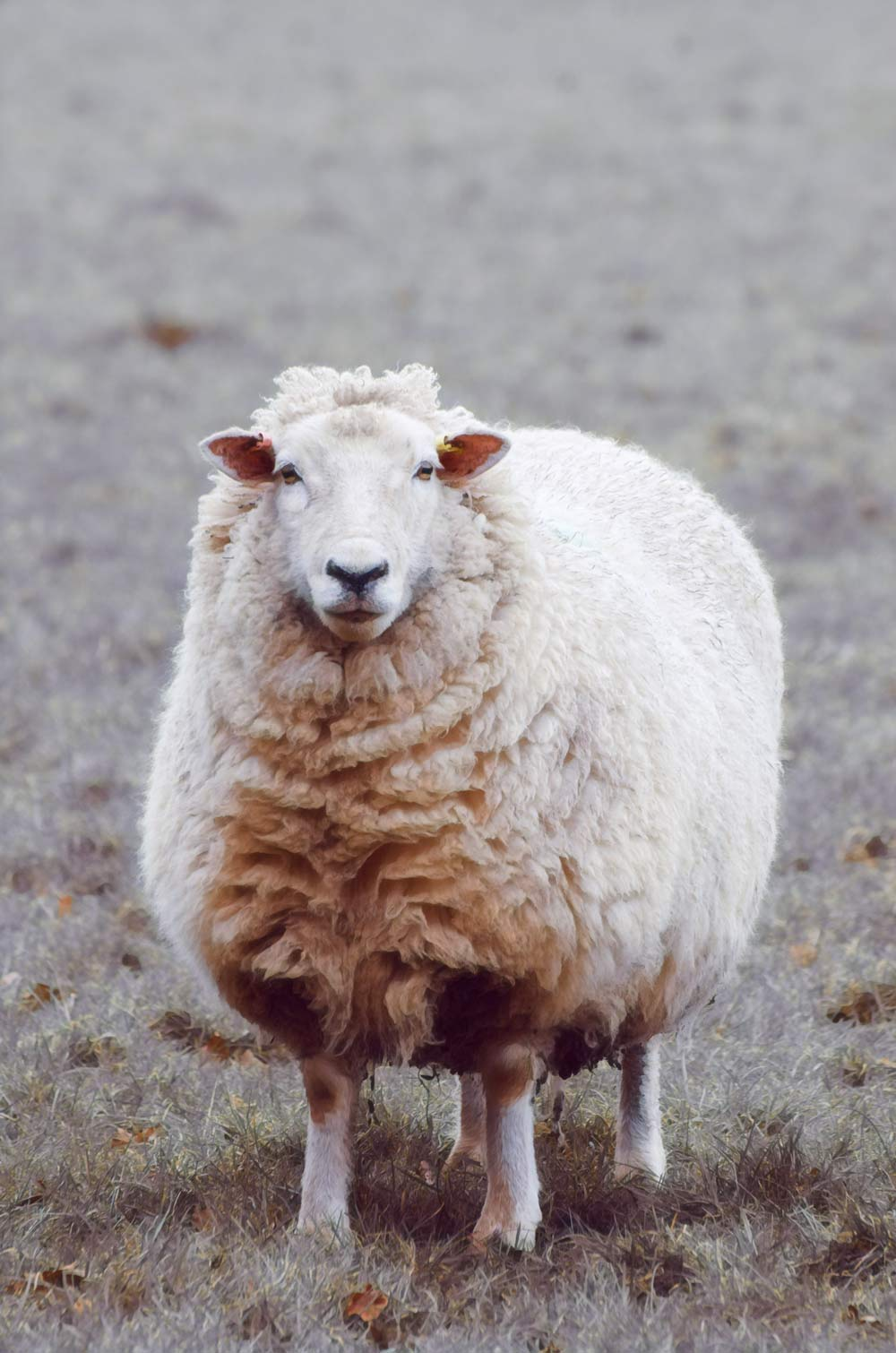 a ewe standing looking at the camera