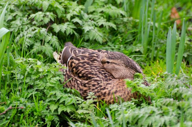 Female mallard bedding down for the night