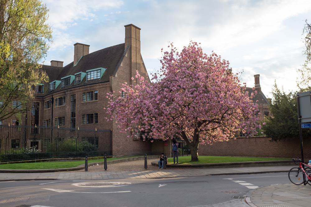 tree in blossom in Cambridge