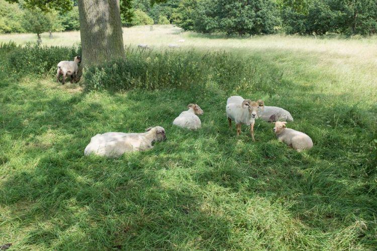 sheep playing hide and seek
