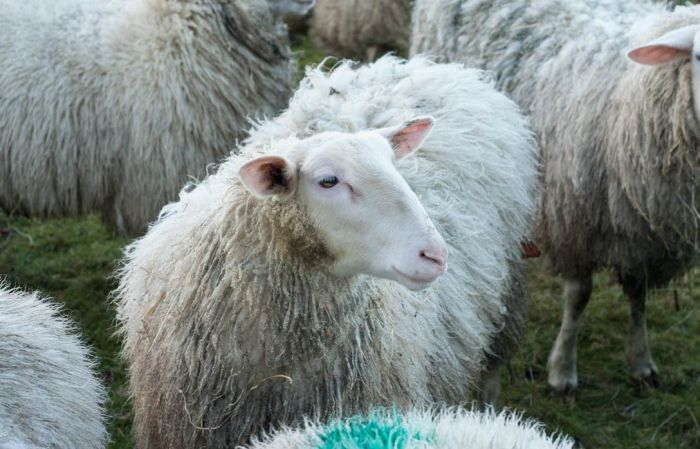 Is it a  Cheviot sheep?