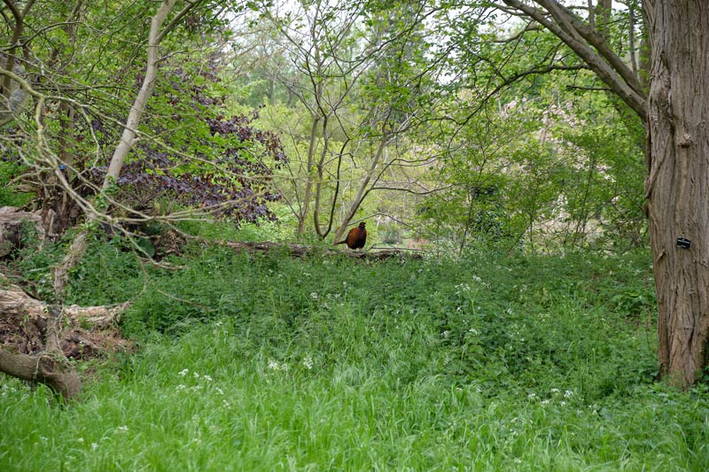 Woodland with pheasant - Botanic Garden, Cambridge