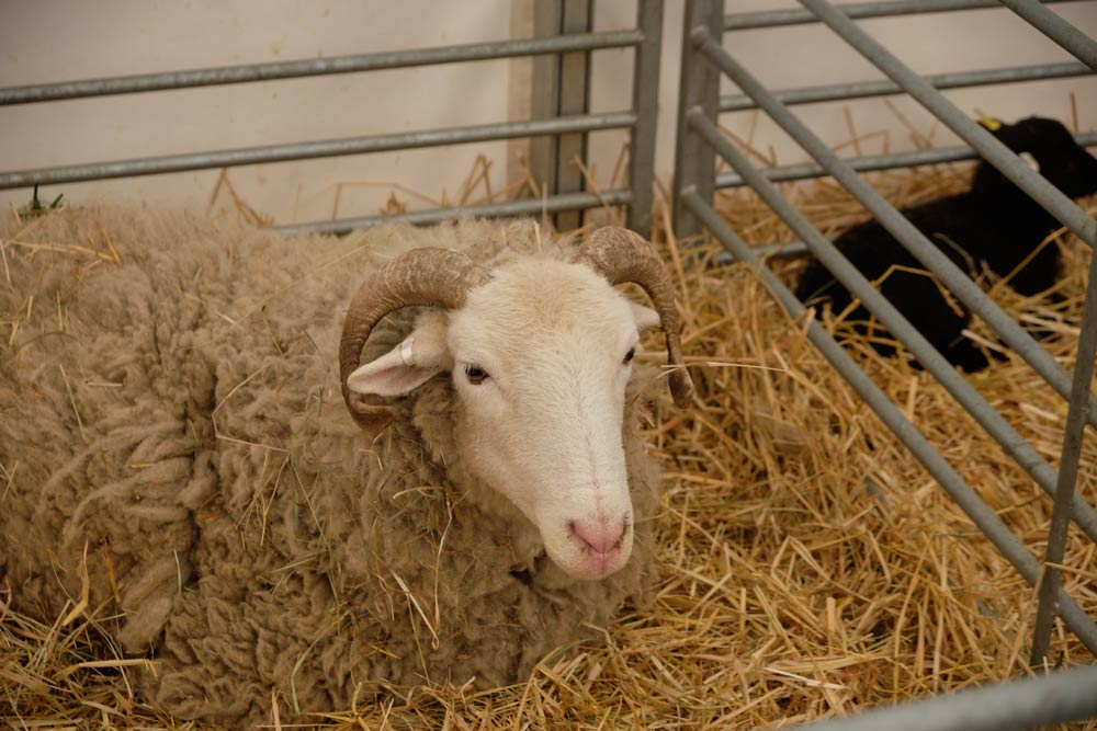 Ewe in pen at Home Farm, Wimpole Hall