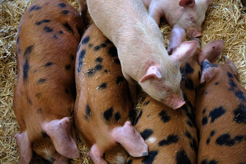 piglets at Wimpole Hall