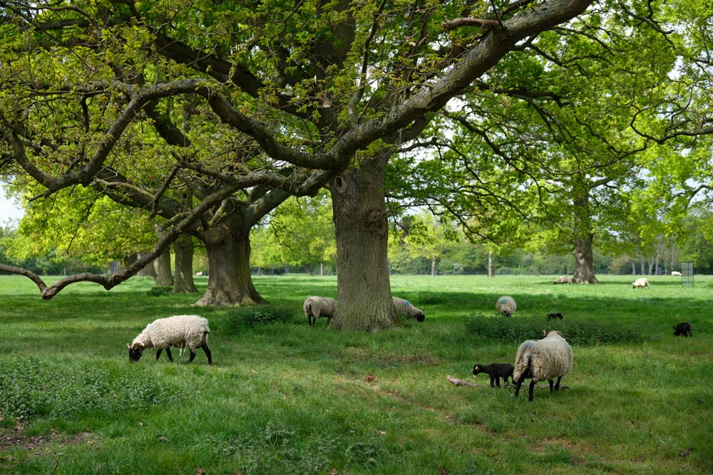 sheep at Wimpole Hall, Cambridgeshire