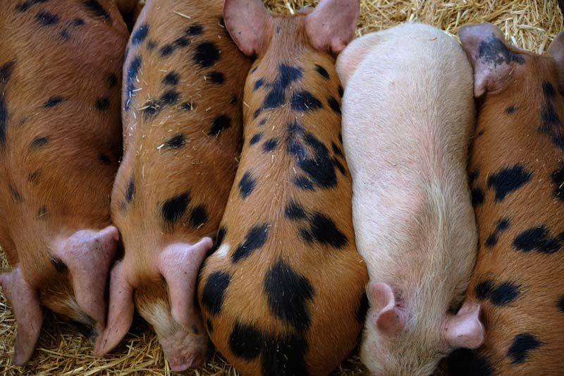 Piglet in among the others at Wimpole Hall
