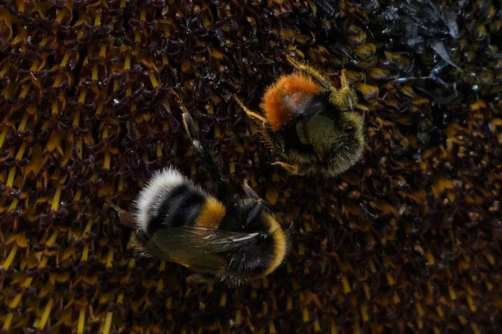 Sunflower head with bees on it - closeup of bees
