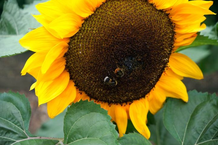 Sunflower head with bees on it