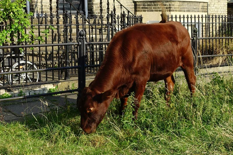 Closeup of cow on Midsummer Common