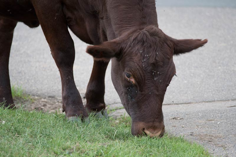 cow grazing by a footpath