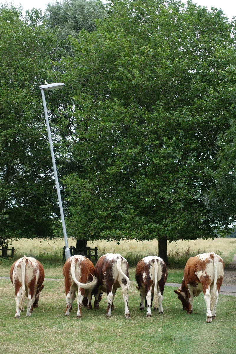 five cows in a line with backs to camera and leaning against a tall lamppost that is askew.