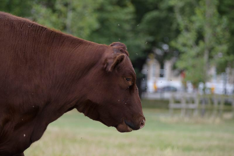 head and shoulders of a brown cow with flies buzzing around its head.