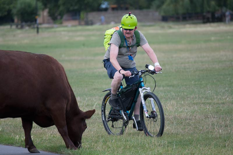 man on bicycle navigating his way around a cow on Midsummer Common in Cambridge
