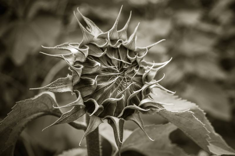 tinted black and white version of a sunflower head before it opens