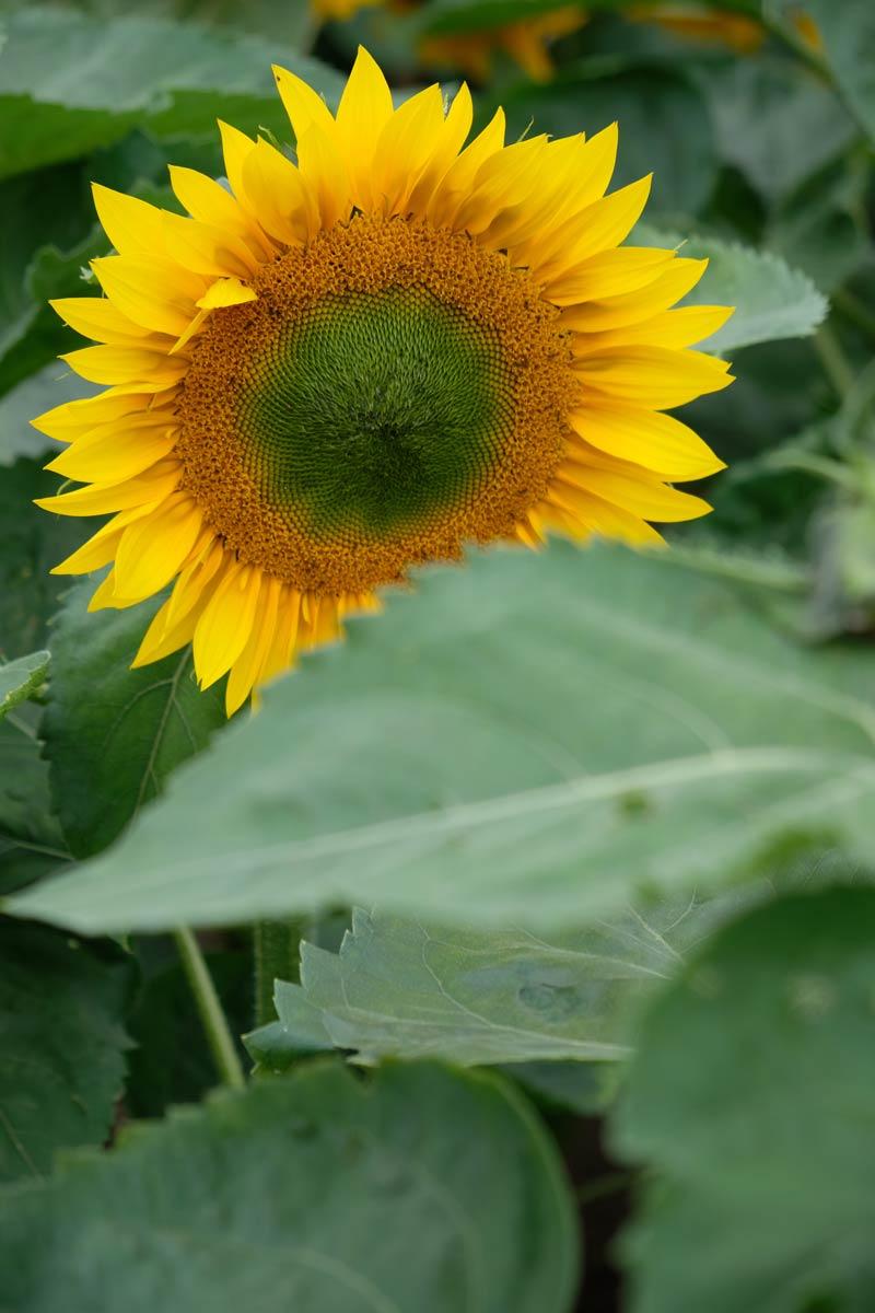 sunflower behind leaves