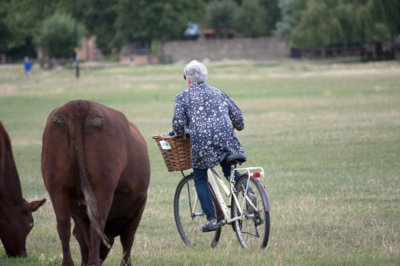 Woman on bicycle navigating her way around a cow on Midsummer Common in Cambridge