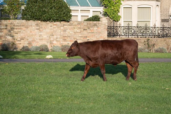 Cow trotting along on Midsummer Common in Cambridge in front of houses bordering the Common