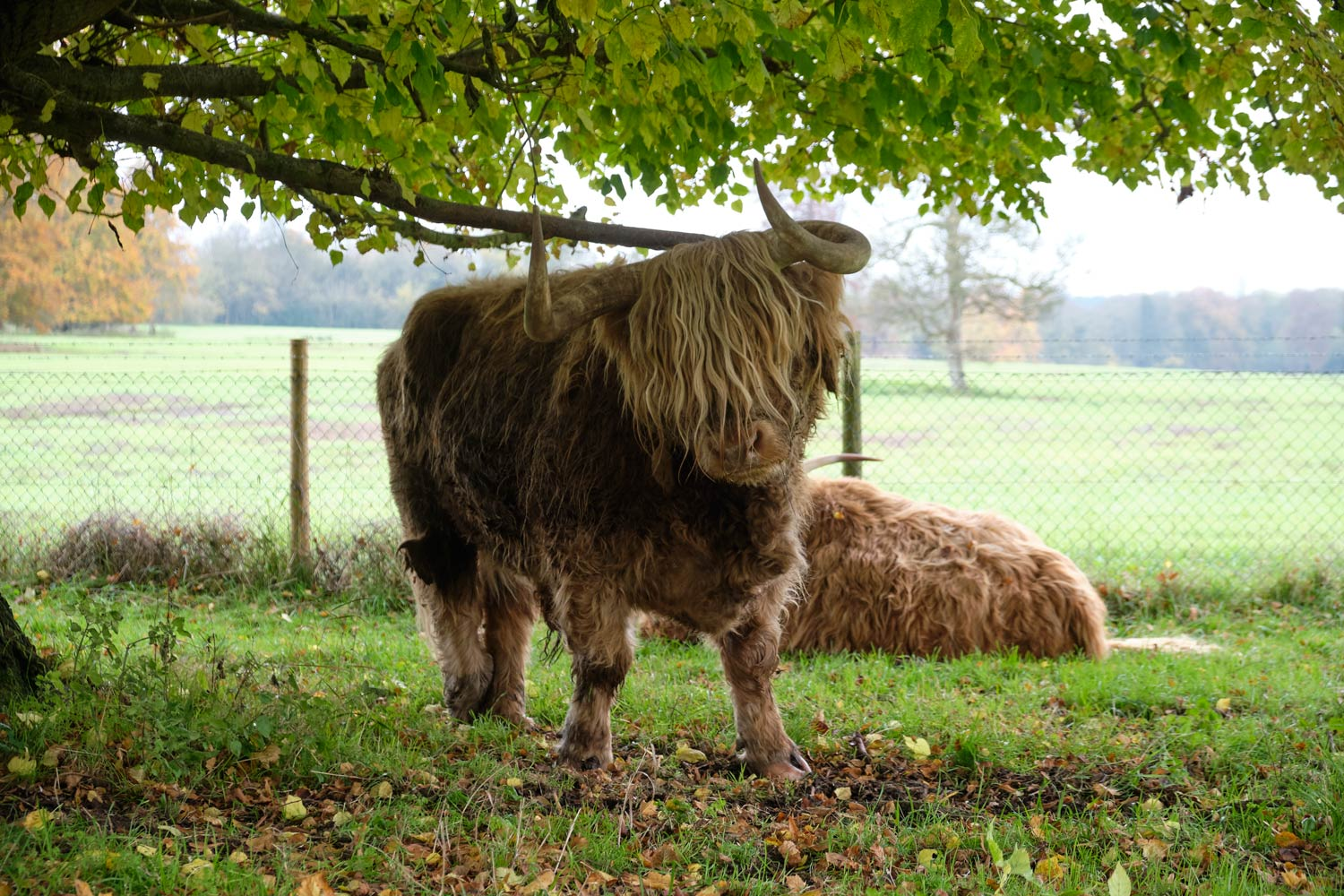 Highland cow in Hampshire scratching its back against the low-lying branch of the tree.