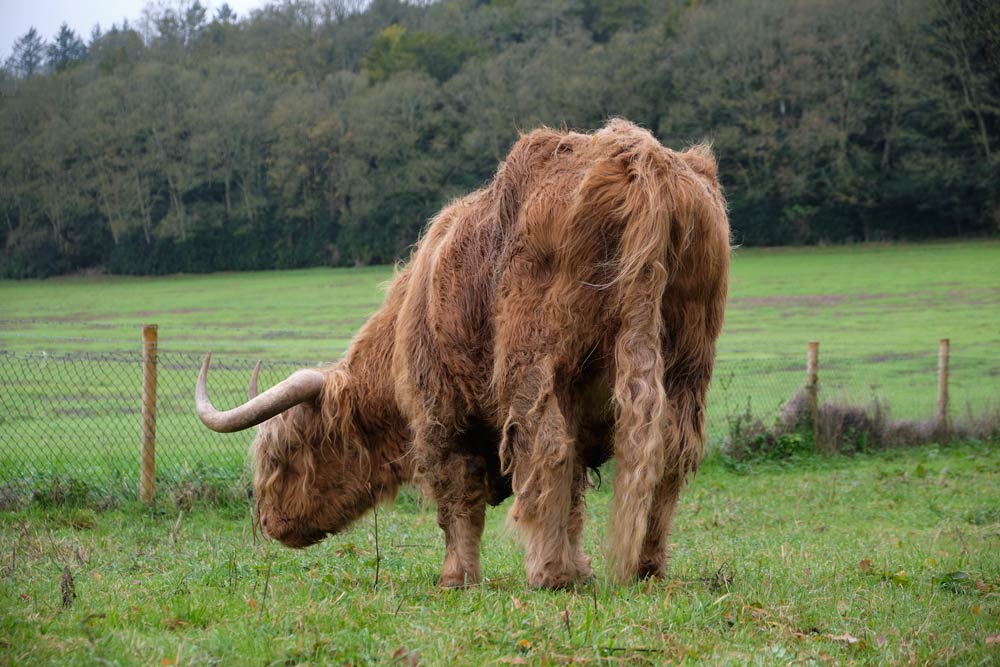 Highland cow in Hampshire
