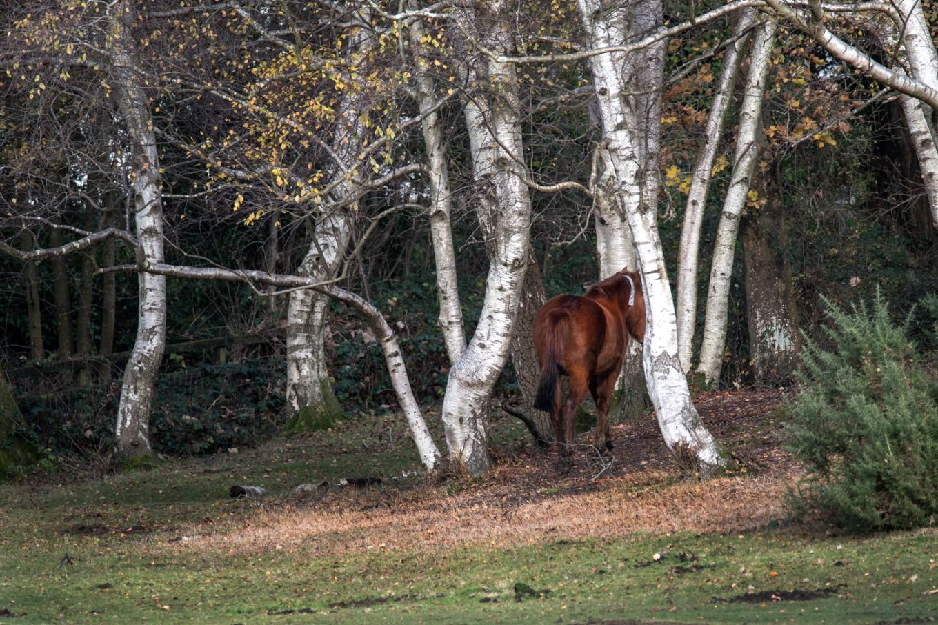 New Forest pony walking between Silver Birch trees