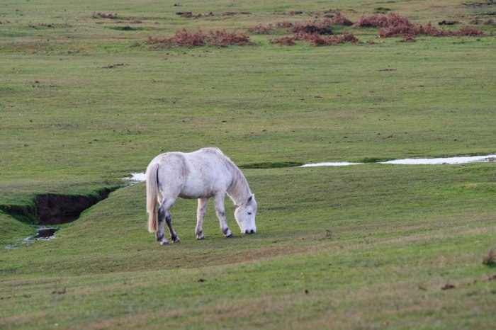 White pony on open ground in the New Forest