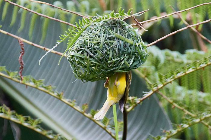 weaver bird close up