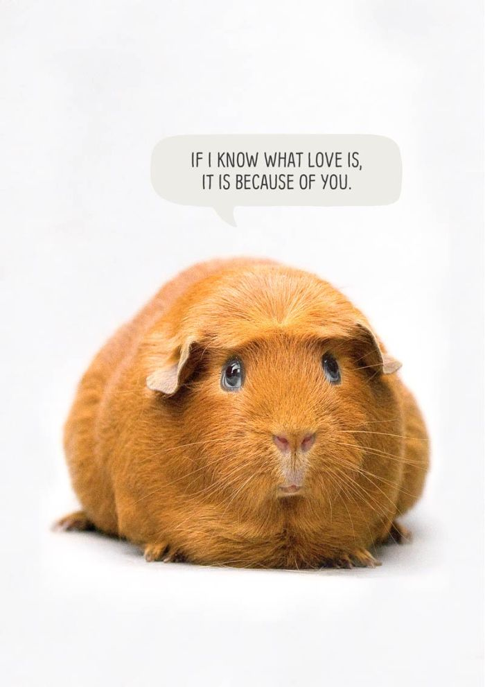 Greeting card with a guina pig and text 'If I know what love is, it is because of you.'