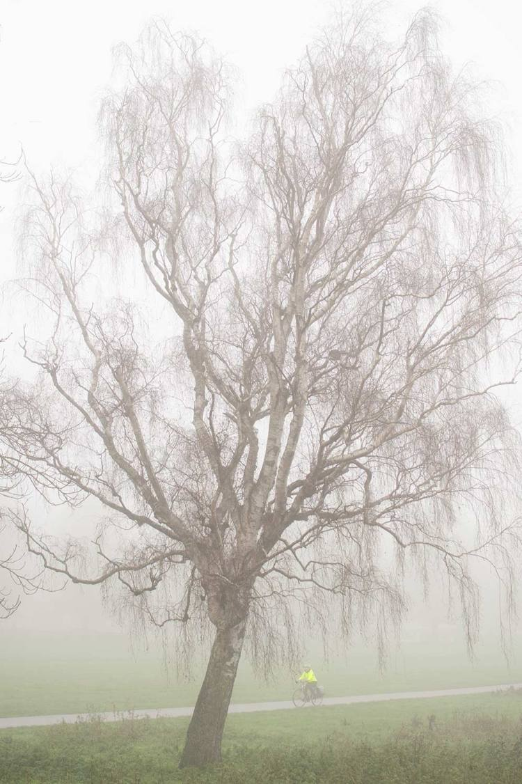 birch tree in mist on Midsummer Common, Cambridge, with cyclist in yellow top passing by.