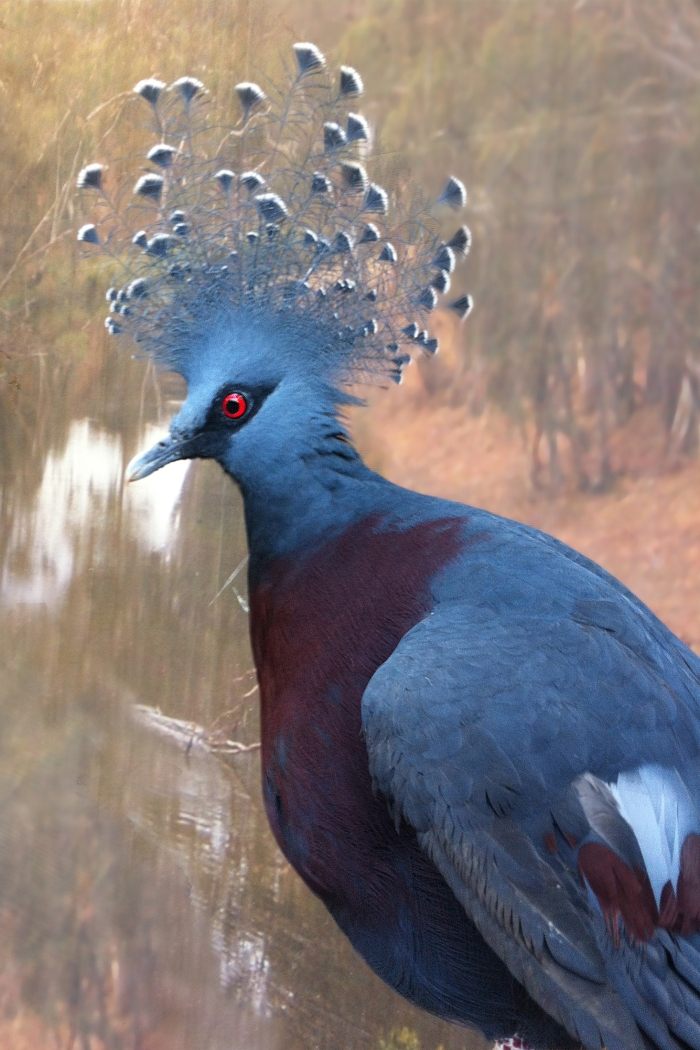 This is our Victoria Crowned Pigeon Greeting Card, and the bird is an exotic pigeon native to New Guinea.