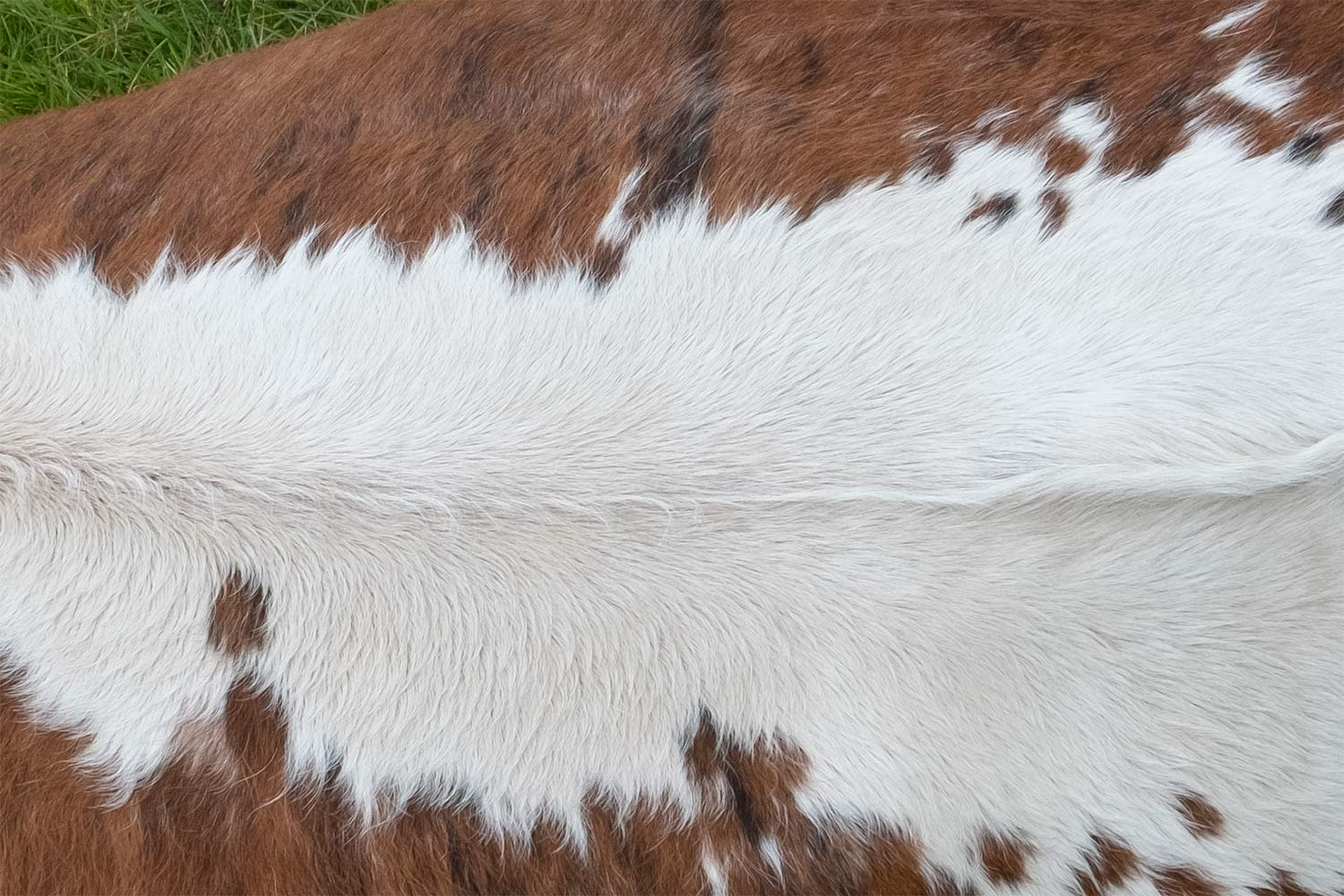 close up of Hereford cow sitting on grass in a field viewed from above showing the colour of its hair and hide and the markings along its back on its body
