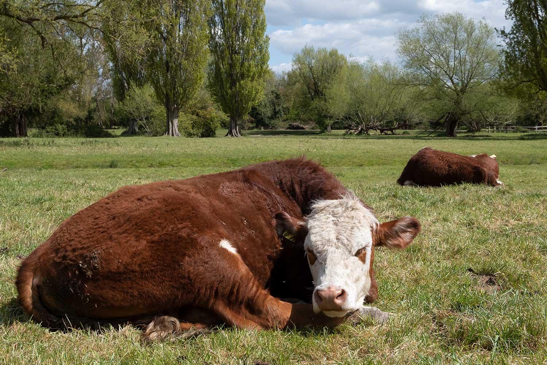 cows lying down in a field