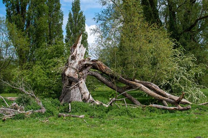 willow tree in a field fallen and cracked through