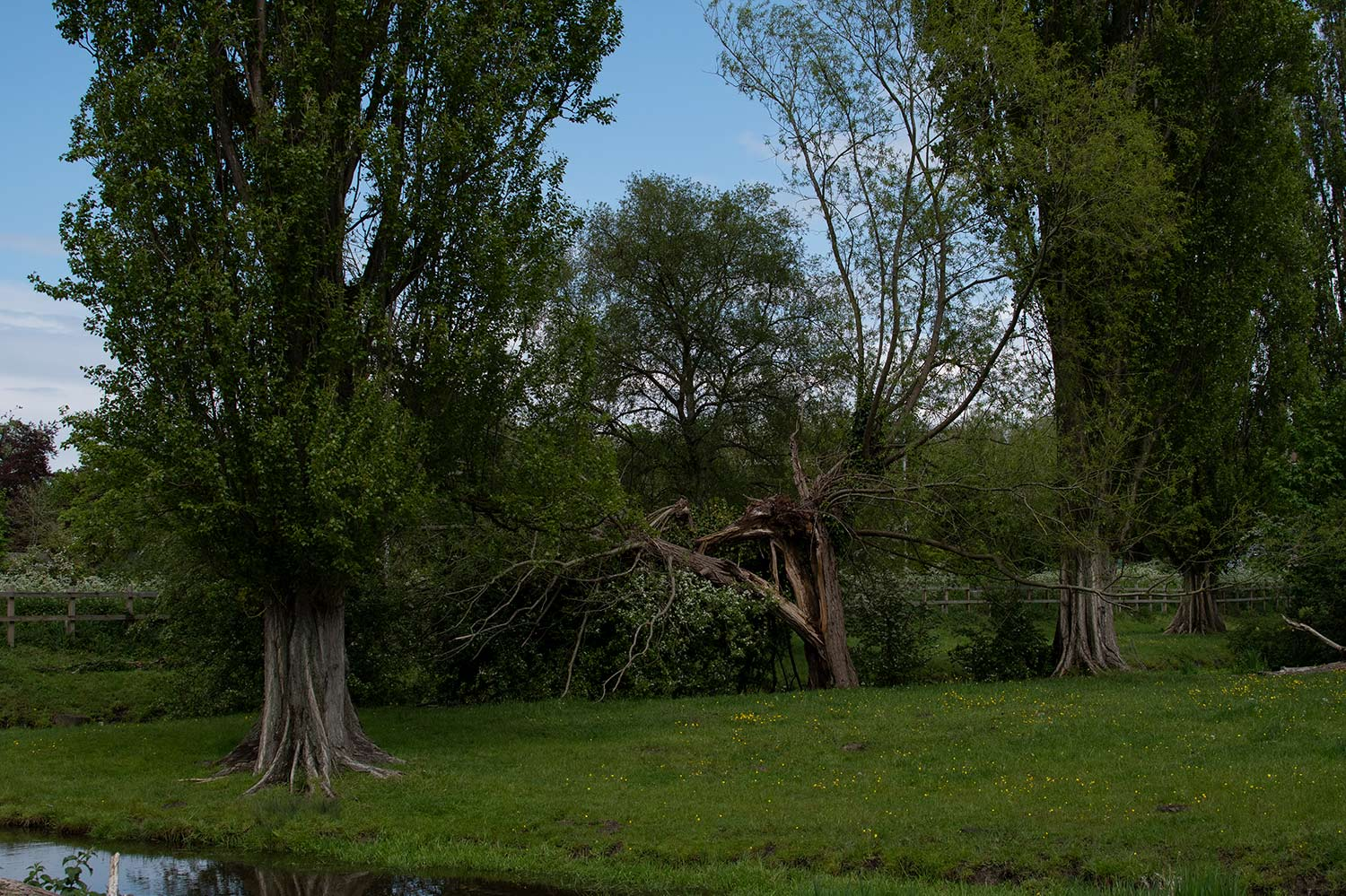 Lombardy Poplars and fallen Willows