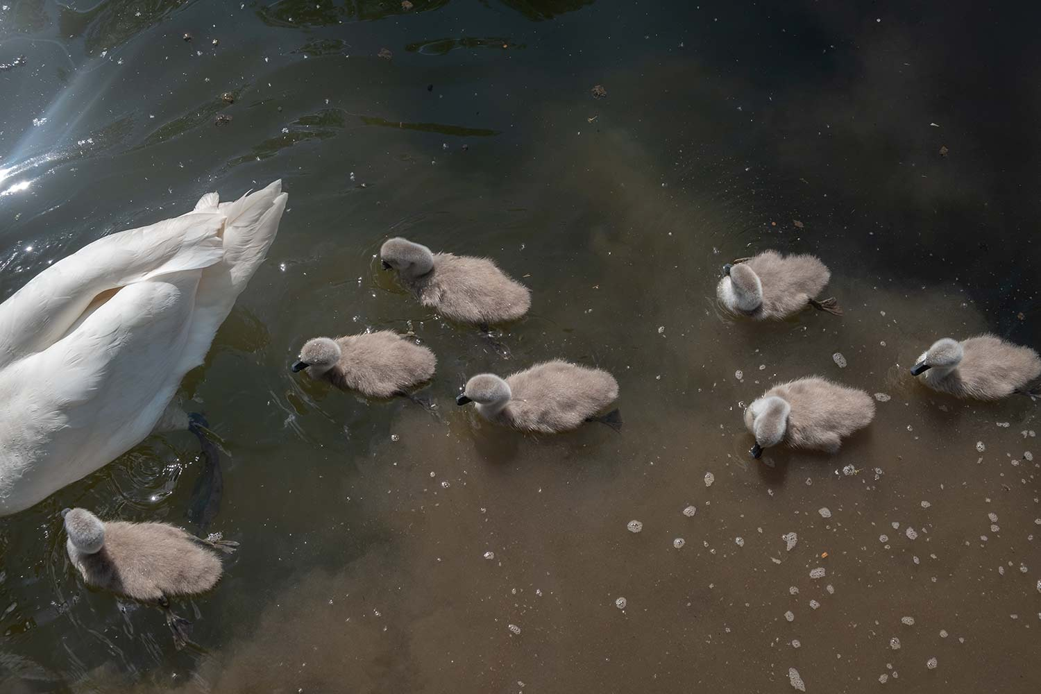 seven cygnets and mother swan