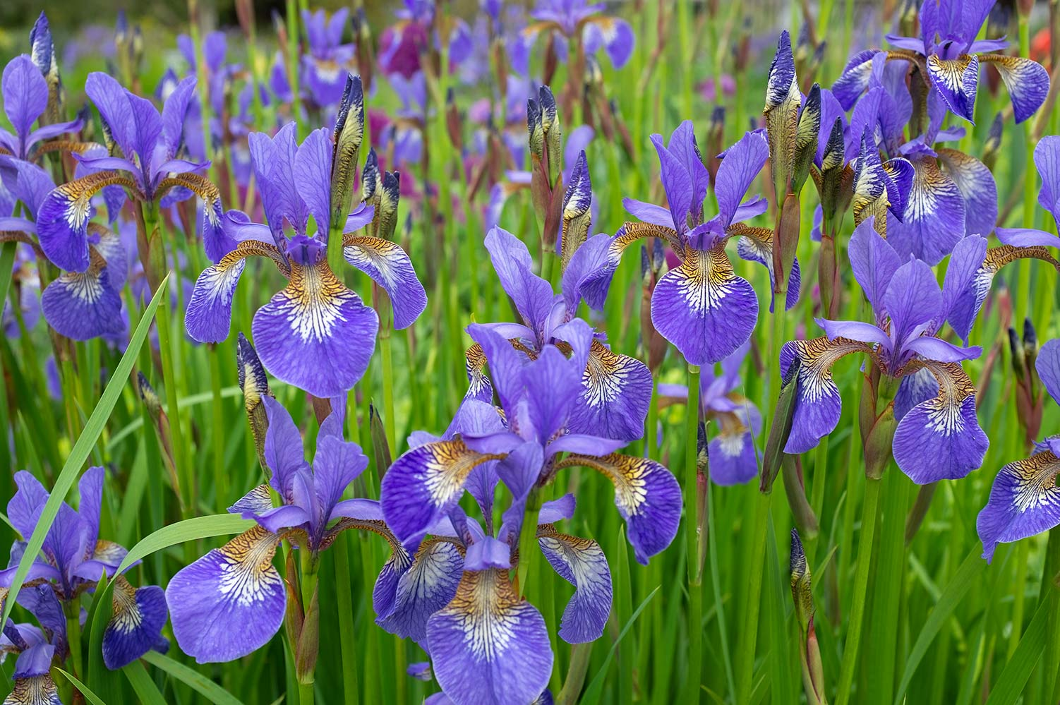 irises growing in a clump