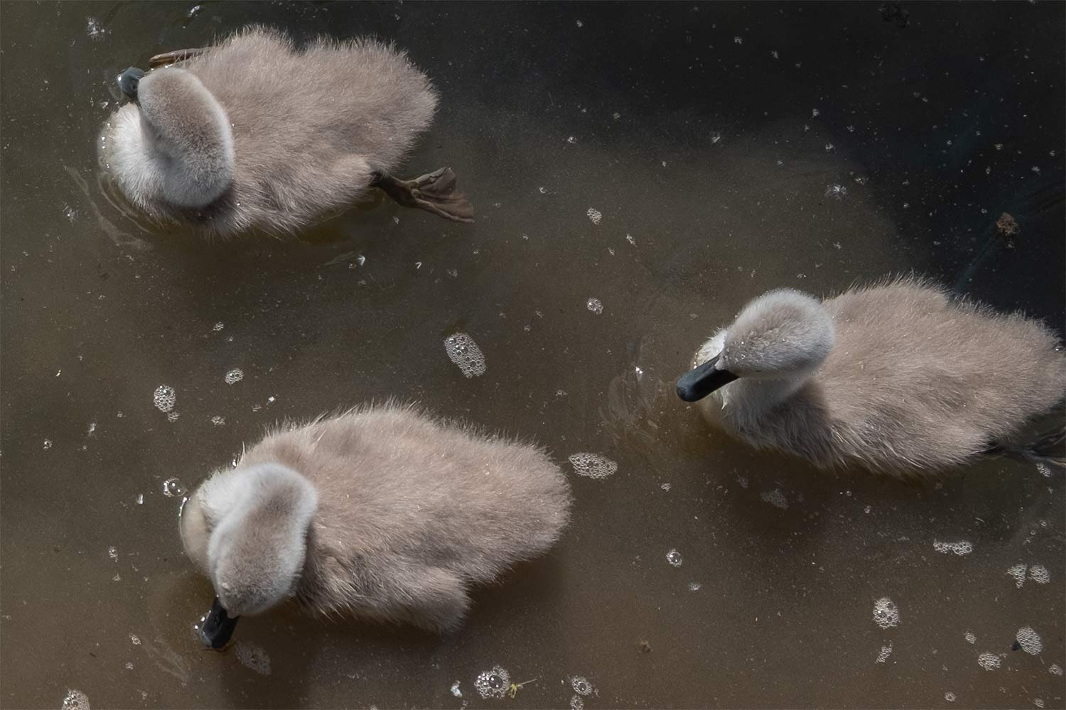 three cygnets on the water viewed from above