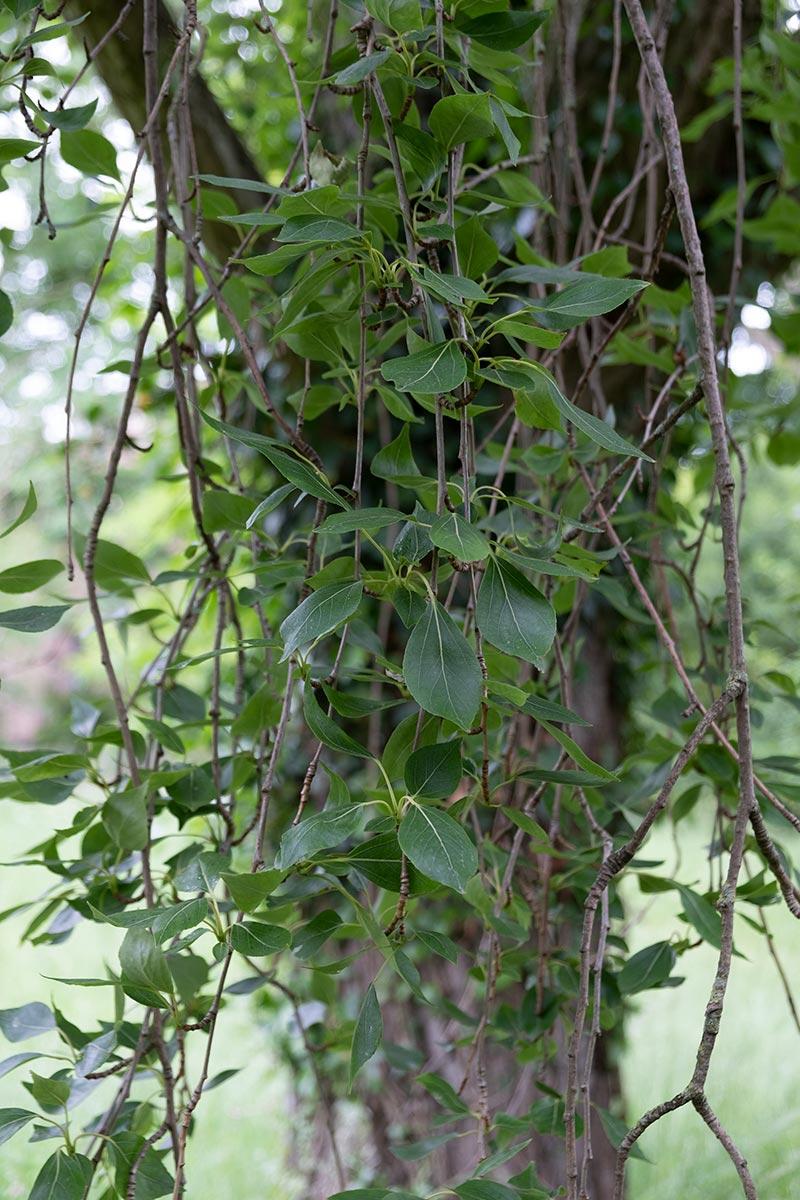 Simon's Poplar closeup of hanging leaves